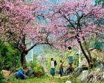 Du lịch Mộc Châu những ngày đầu xuân
